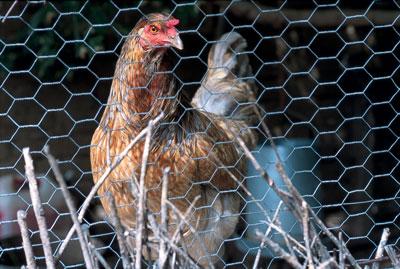 Roxanne-4-Chicken
