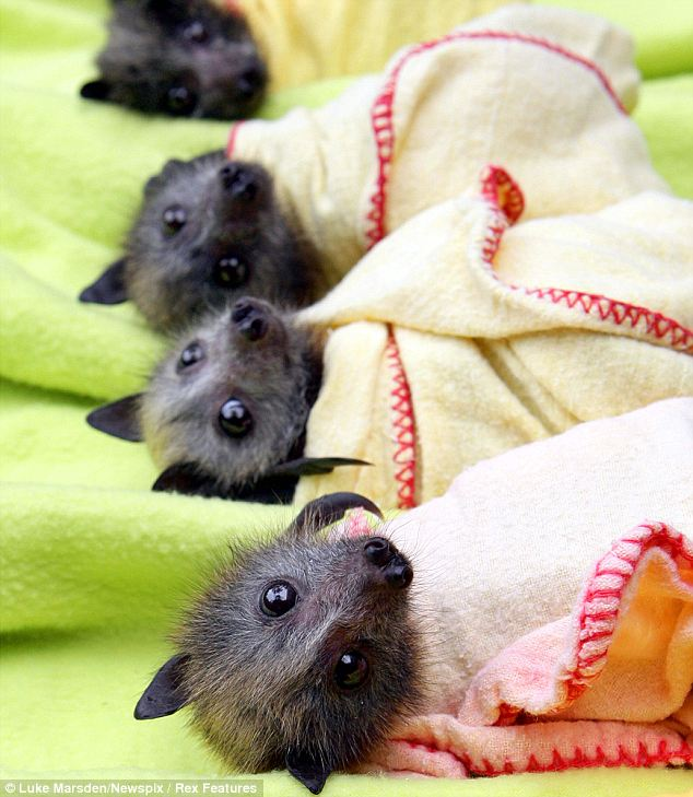 Baby bats 2