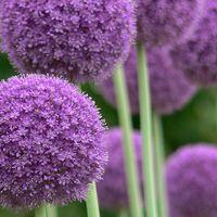 Allium giganteum - Allium