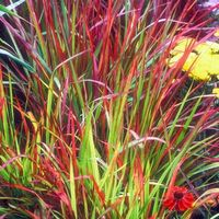 Imperata cylindrica 'Rubra' ('Red Baron') - Japanese Blood Grass