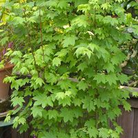 Acer circinatum - Vine Maple